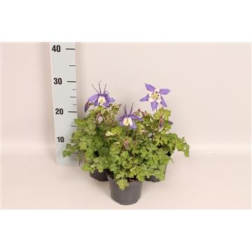 Vaste planten 12 cm Aquilegia Deep Blue & White