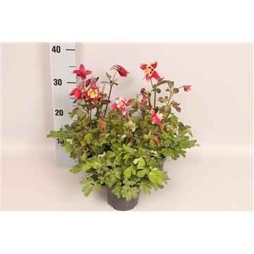 Vaste planten 12 cm Aquilegia Red & White