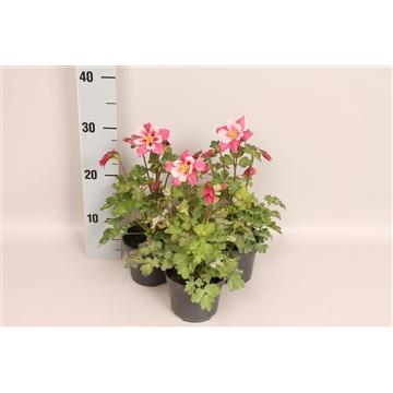 Vaste planten 12 cm Aquilegia Rose & Pink