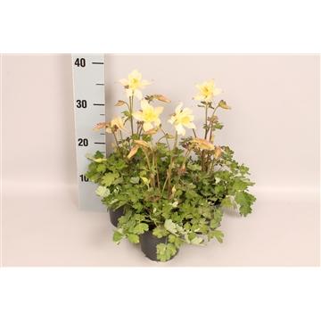 Vaste planten 12 cm Aquilegia Yellow