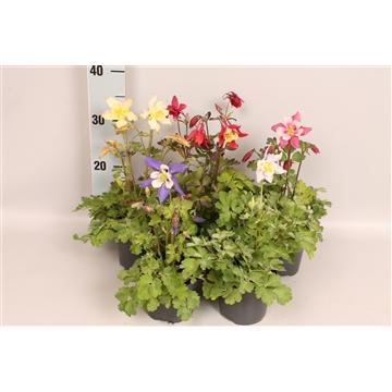 Vaste planten 12 cm Aquilegia MIX Laag
