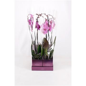 TiSento Phalaenopsis 12 cm 2t  Paars Wonders of Amsterdam