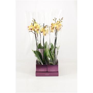 TiSento Phalaenopsis 12 cm 2t  Geel Wonders of Amsterdam