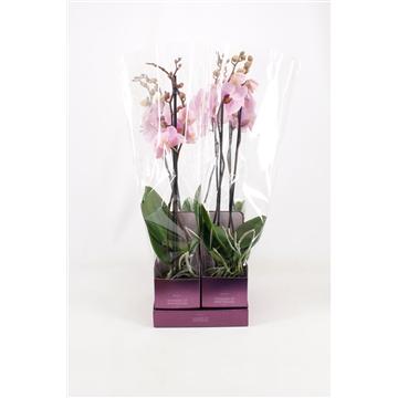 TiSento Phalaenopsis 12 cm 2t  Roze Wonders of Amsterdam