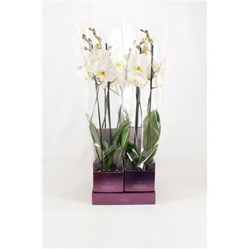 TiSento Phalaenopsis 12 cm 2t  Wit Wonders of Amsterdam