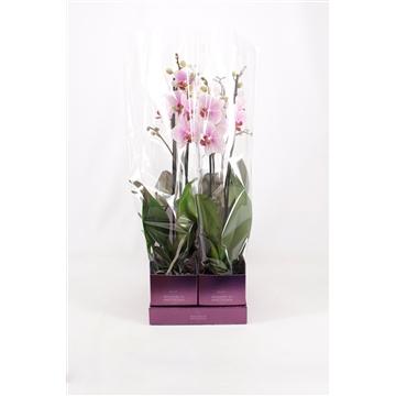 TiSento Phalaenopsis 12 cm 2t  Specialty Wonders of Amsterdam