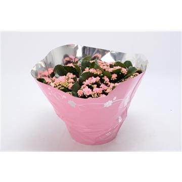 Kalanchoe blossfeldiana gevuld Perfecta Pink P23 premium