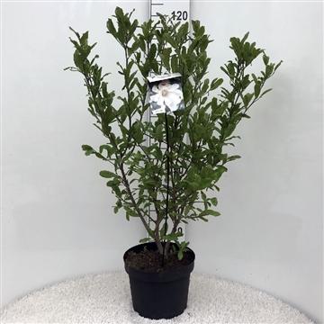 Magnolia 'stellata' white