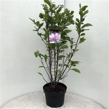 Magnolia 'betty' pink