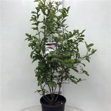 Magnolia 'george henry kern' white/