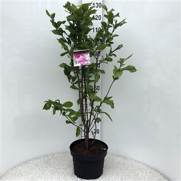 Magnolia 'susan' dark red