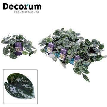 DECORUM Scindapsus (Epipremnum) Pictus