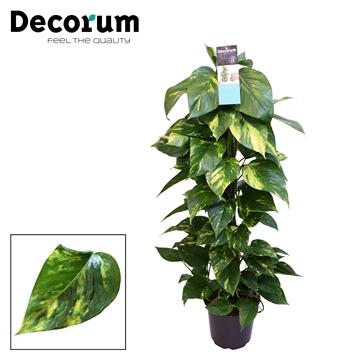 DECORUM Scindapsus (Epipremnum) mosstok 100 cm