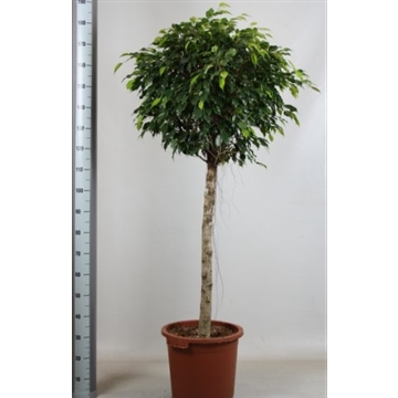 Ficus danielle stam
