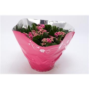 Kalanchoe blossfeldiana gevuld Perfecta Purple P23 premium