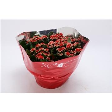 Kalanchoe blossfeldiana gevuld Perfecta Red P23 premium