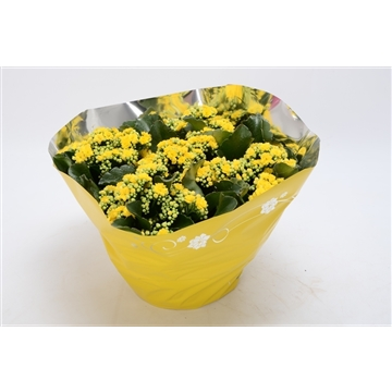 Kalanchoe blossfeldiana gevuld Perfecta Yellow P23 premium