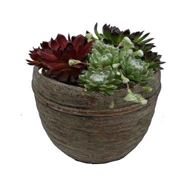 "SE594 Sempervivum in pot ""Lars"""