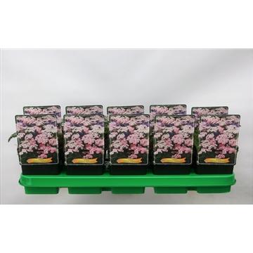 Achillea millefolium 'Appleblossom' P11
