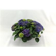 Hydrangea Macr. Patio Schaal Ningbo Paars 23cm 15+ bloem