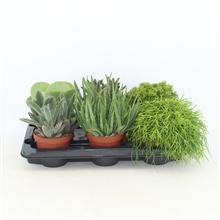 Artikel #378186 (The Joy mix: The Joy mix, 4 soorten groene planten)