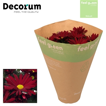 Chrysant Chrysanne® 'Margarita Red' Feel Green