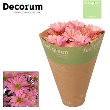 Chrysant Chrysanne® 'Margarita Princess' Feel Gree