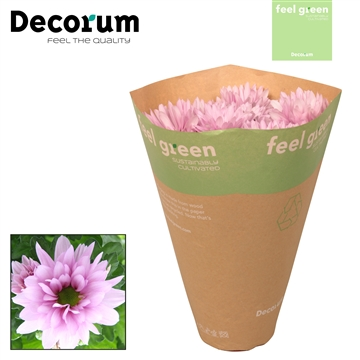 Chrysant Chrysanne® 'Margarita Balleri' Feel Green