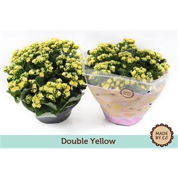 Kalanchoe double yellow