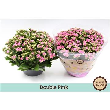 Kalanchoe double pink