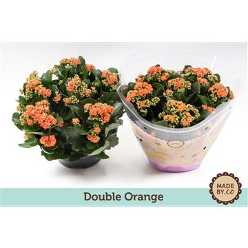 Kalanchoe double orange