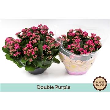 Kalanchoe double purple
