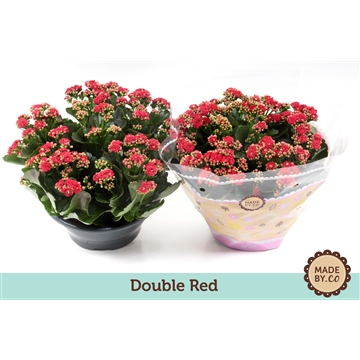 Kalanchoe double red