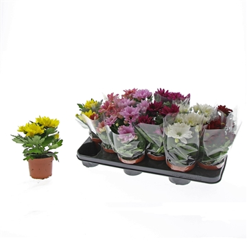 Chrysanthemum Chrysanne® 'Margarita' Mix Decorum