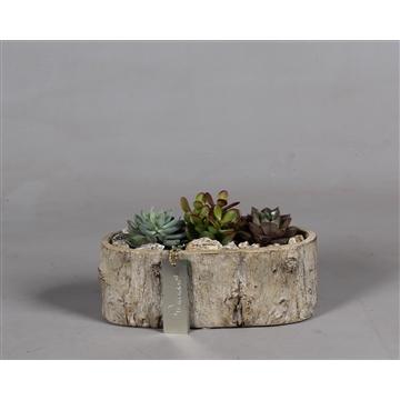 Betonpot berkenlook met Succulenten