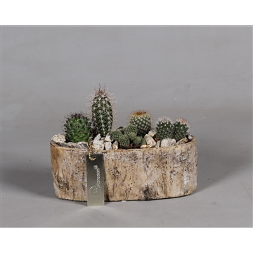 Betonpot berkenlook met Cactussen