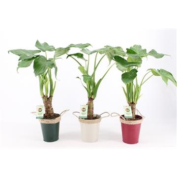 Alocasia Cucullata op stam - Winters Zink met Touw