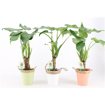 Alocasia Cucullata op stam in Zomers Zink met Touw