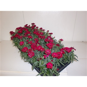 Dianthus Dark Red