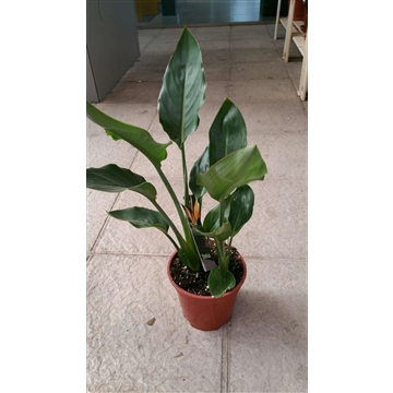 Strelitzia reiginae 2 Plant