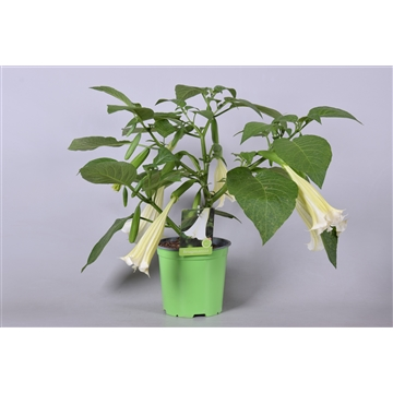 MoreLIPS® Brugmansia bush white