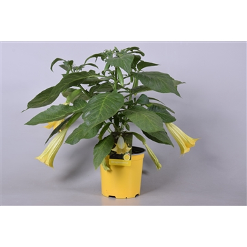 MoreLIPS® Brugmansia bush yellow