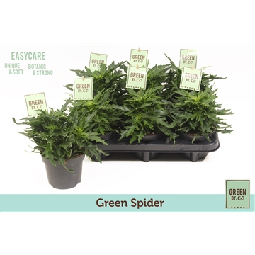 Green by.co kalanchoe green spider (succulent)