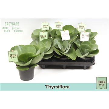 Green by.co kalanchoe thyrsiflora (succulent)