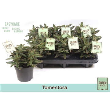 Green by.co kalanchoe tomentosa (succulent)