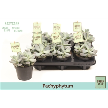 Green by.co pachphytum (succulent)