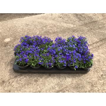 Lobelia blauw 9cm