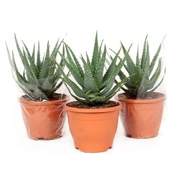 Aloe arborescens 19 cm