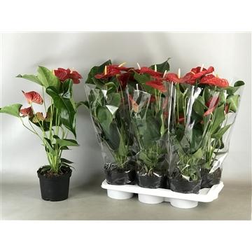 Anthurium Overig Rood pot 17