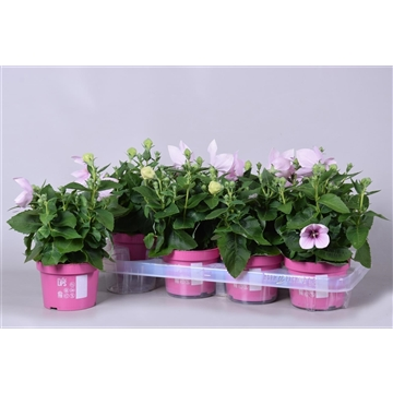 MoreLIPS® Platycodon grandiflorus 'Astra Pink'